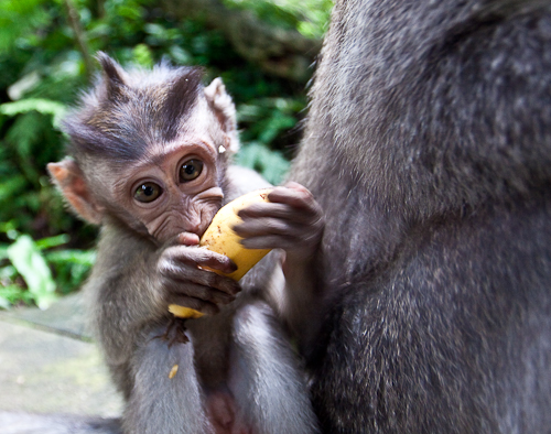 pictures of monkeys eating bananas