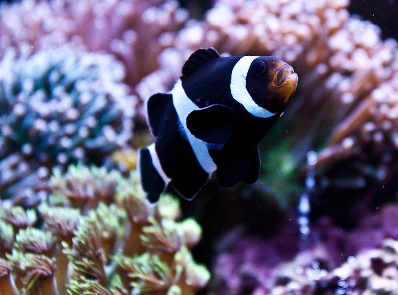 Black clown fish posing for Clown fish facts